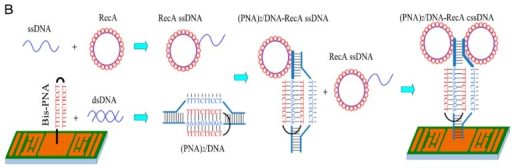 A complex DNA hybridization scheme. A bis-PNA DNA structure was used to specifically detect dsDNA from a pathogen. The mass change from this interaction is small however. In order to improve the detector sensitivity, single stranded DNA (ssDNA) linked to protein RecA was used to amplify the mass change while maintaining specificity as the ssDNA hybridizes only with the complex DNA structure already formed on the sensor surface. With permission from [43].