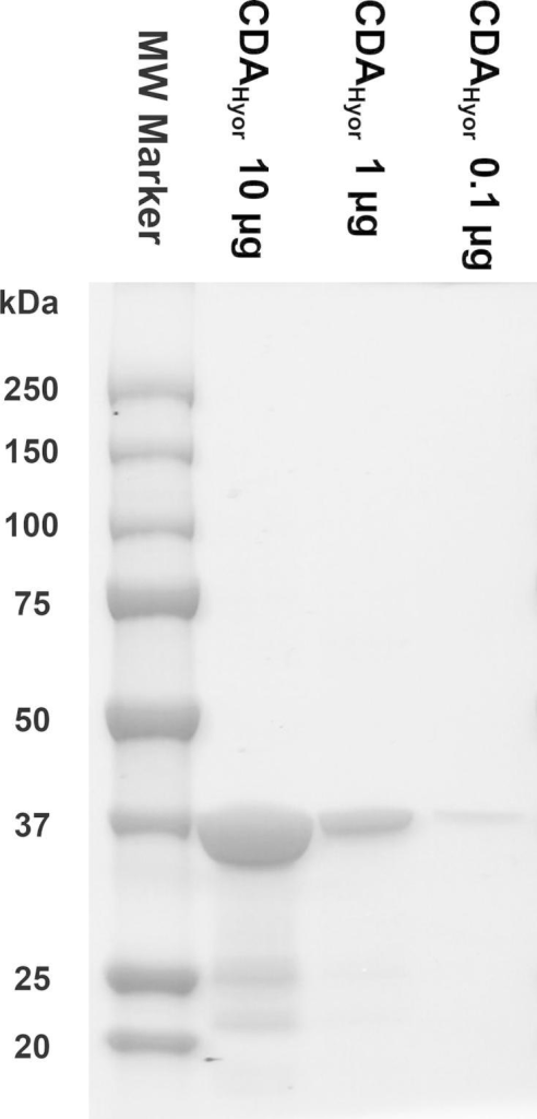 Purity evaluation of the CDAHyor-GST fusion protein. Three different concentrations (i.e. 10, 1 and 0.1 μg) of the purified enzyme preparation were analyzed using SDS–PAGE. Proteins were stained using Bio-Safe™ Coomassie G-250 Stain (Bio-Rad Laboratories, CA, USA).