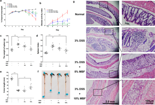 MBF dietary supplementation attenuates pathological symptoms of DSS induced acute colitis.BALB/c mice were fed with MBF (20 mg/kg) for 10 days prior to exposure to 3% DSS in drinking water. Daily weights were measured (n = 6–8/group) and plotted as percentage of body weight change from initial weight (a). Pathological parameters including disease activity index (b), weight of spleen (c), spleen index (d) and colon length from experimental mouse groups (e,f) were measured as described in methods. Colorectal histology changes (f) were determined by immunohistochemical staining. Data are representative of two independent experiments (means ± SEM). *P < 0.05, **P < 0.01, ***P < 0.001 compared to DSS-only control.