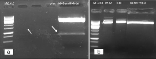 a Double digestion of the Romiplostim plasmid with BamHI/NdeI, Romiplostim fragment is identified; b Double digestion of pET-22b(+) with BamHI/NdeI