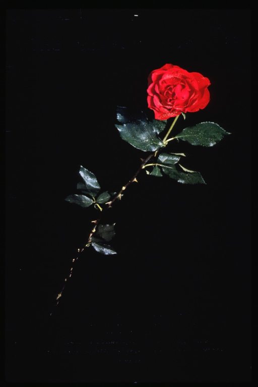<p>Black poster with silver lettering promoting an exhibit.  Dominant image is a color photo of a thorny long-stem red rose.  Beads of water are visible on the green leaves.</p>