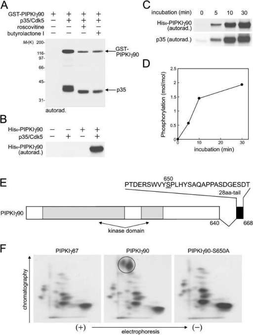 PIPKIγ90 is phosphorylated by p35/Cdk5 at S650 in vitro. Recombinant PIPKIγ90 fusion proteins were incubated with p35–Cdk5 complex in the presence of [32P]ATP for 30 min. Protein phosphorylation was analyzed by autoradiography after SDS-PAGE. (A) GST-PIPKIγ90 was phosphorylated by p35/Cdk5 in the absence and presence of the Cdk5 inhibitors, roscovitine or butyrolactone I (20 μM each). (B and C) Phosphorylation of His6-PIPKIγ90 by p35/Cdk5 and time course of the phosphorylation. (D) Stoichiometry of the phosphorylation of His6-PIPKIγ90 by p35/Cdk5. Purified proteins phosphorylated in vitro in the presence of [32P]ATP were separated by SDS-PAGE and stained with Coomassie brilliant blue. PIPKIγ90 bands were excised and incorporation of 32P was measured. (E) Diagram indicating the position of the phosphorylation site S650 in the COOH-terminal 28-aa tail of PIPKIγ90. (F) 2-D phosphopeptide mapping of His6-PIPKIγ87, His6-PIPKIγ90, and S650A mutant His6-PIPKIγ90 phosphorylated by p35/Cdk5 for 30 min in vitro. A circle outlines the spots present only in the protein that contains S650.
