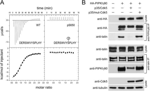 Cdk5 phosphorylation of PIPKIγ90 inhibits its interaction with talin in vivo. (A) ITC analysis of the binding of 12-mer WT and pS650 peptides from the 28-aa tail of PIPKIγ90 to GST-talin head. Raw data as a function of time are shown in the top panels, and plots of the total heat released as a function of the molar ratio of each ligand are shown in the bottom panels. The continuous line in the bottom panels represents the nonlinear, least-squares best fits to the experimental data using a one-site model of binding. Note the roughly 1:1 stoichiometry indicated by the half-height point of the sigmoidal curve (bottom left; Turnbull and Daranas, 2003), and the complete absence of heat release in the case of the pS650 peptide. (B) CHO cells were cotransfected with HA-PIPKIγ90, p35, and Cdk5 or mut-Cdk5. Protein contents of the starting lysates were revealed by Western blotting. PIPKIγ90 and talin were immunoprecipitated from the cell lysates and presence of PIPKIγ90 and talin in each immunoprecipitate was detected by Western blotting.