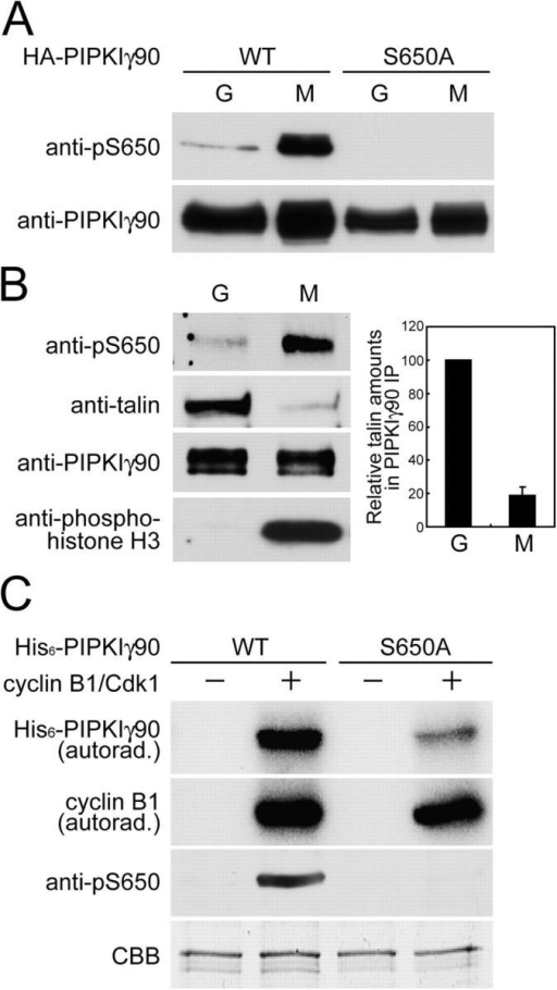 S650 of PIPKIγ90 undergoes mitotic phosphorylation by cyclin B1/Cdk1. (A) CHO cells transfected with WT or S650A mutant HA-PIPKIγ90 for 24 h were arrested in the mitotic state (M) by nocodazole treatment. G1 interphase cells (G) were further prepared from mitotically synchronized cells after removal of nocodazole. Cell lysates of both M and G cells were analyzed by Western blotting with anti-pS650 and anti-PIPKIγ90 antibodies. (B) U87MG cells were processed as described in A to generate mitotic and interphase cells. PIPKIγ90 was immunoprecipitated from cell lysates for analysis of pS650, talin and total PIPKIγ90. Cell lysates were also analyzed by Western blotting for levels of histone H3 phosphorylation using a phosphospecific antibody. Bar graphs represent normalized talin immunoreactivity (mean ± SD; n = 4) after quantification as shown in Fig. 4 C. (C) WT and S650A mutant His6-PIPKIγ90 were incubated in vitro with or without the cyclin B1–Cdk1 complex in the presence of [32P]ATP. His6-PIPKIγ90 phosphorylation and cyclin B1 autophosphorylation were examined by autoradiography after SDS-PAGE. In parallel, samples phosphorylated under the same conditions with nonradioactive ATP were processed for Western blotting with anti-pS650 antibody. CBB staining demonstrates equal amounts of proteins.