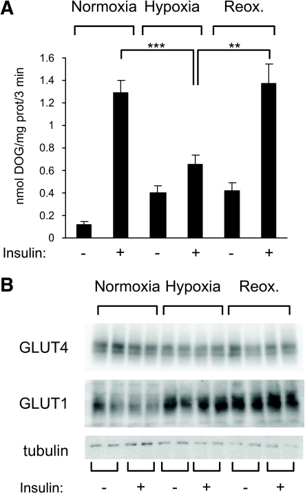 Hypoxia inhibits insulin-induced glucose transport. A: 3T3-L1 adipocytes were incubated for 16 h in normoxia or hypoxia before insulin-stimulated glucose transport was measured as described in research design and methods. Data are the means ± SE of three independent experiments performed in triplicate. B: Cell lysates were analyzed by immunoblots using the indicated antibodies. DOG, deoxyglucose; prot, protein; Reox, reoxygenation. **P < 0.01; ***P < 0.001.