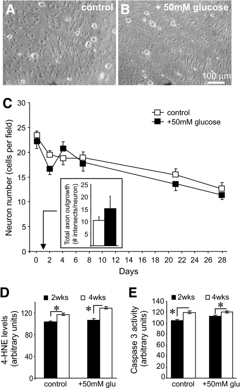 High glucose concentration does not impair adult sensory neuron survival or induce oxidative stress. A and B: Phase contrast images of 2-week cultures of adult dorsal root ganglion sensory neurons grown in defined F12 + 10% FBS medium with and without 50 mmol/l d-glucose. Note the phase-bright neuronal perikarya and phase-dark nonneuronal cells (mostly fibroblasts and Schwann cells). C: Levels of survival of dorsal root ganglion neurons for control (10 mmol/l d-glucose) or 50 mmol/l d-glucose over a 4-week period. Cell numbers were assessed by morphology under a phase contrast microscope. Values are the means ± SE, n = 4 replicate cultures. The insert graph shows no difference in total axonal outgrowth at 24 h. Values are the means ± SE, n = 3 replicate cultures. D and E: Levels of 4-HNE adduct expression or caspase 3 activation in neuronal perikarya in arbitrary units of fluorescence intensity at 2 and 4 weeks of culture. Values are the means ± SE, n = 85–108 neurons. *P < 0.05. glu, glucose; wks, weeks.