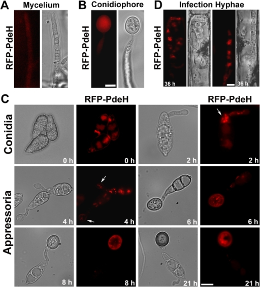 Subcellular distribution of RFP-PdeH fusion protein during different stages of pathogenic and asexual development.(A) Vegetative hyphae from RFP-PdeH strain were imaged after 3 d growth on PA medium. (B) Mycelial blocks of the RFP-PdeH strain were exposed to constant illumination on fresh agar medium, and developing aerial (conidiophore) structures imaged after 24 h. Scale Bar = 10 micron. (C) Conidia harvested from the RFP-PdeH strain were inoculated on plastic cover slips and incubated in a moist chamber prior to microscopic observations. Bright field and epifluorescence images were captured at the indicated time points, using the requisite filter sets. The arrows highlight the localization pattern of RFP-PdeH fusion protein at 2 hpi (punctate) and 4 hpi (plasma membrane). Scale Bar = 10 micron. (D) RFP-PdeH conidia were inoculated on rice leaf sheath and the infection hyphae imaged after 36 h using epifluorescence microscopy. Scale Bar = 10 micron.