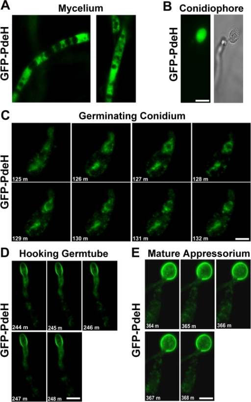 Localization and dynamic nature of the PROMpg1-GFP-PdeH during various stages of development in M. oryzae.(A) The PROMpg1-GFP-PdeH localized to the cytosol in the vegetative hyphae and (B) developing aerial structures (conidiophore). Scale Bar = 10 micron. (C), (D) and (E) Snapshots extracted from time-lapse movies (supplemental movies), showing the highly dynamic PROMpg1-GFP-PdeH, during different stages (specified sequentially) of pathogenic development. Scale Bar = 10 micron.
