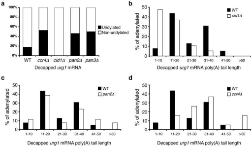 Deadenylation and uridylation function as redundant pathways in mRNA decay(a) The percentage of decapped, adenylated urg1 sequences that contain [black] or lack [white] terminal uridyl residues is compared for RNA isolated from WT, ccr4∆, cid1∆ cells, pan2∆ cells and pan3∆ cells (n=39, 19, 19, 27 and 20 respectively). (b-d) Poly(A) tail lengths, binned into groups of ten nt, of decapped urg1 mRNAs isolated from (b) cid1∆ cells [white], (c) pan∆ cells [white] and (d) ccr4∆ cells [white] compared to those products from wild-type cells [black].