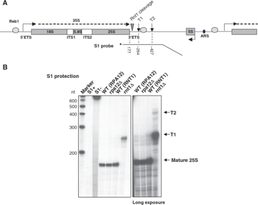 3′-extended 25S rRNA is produced in rnt1Δ cells. (A) Schematic of a S. cerevisiae rDNA repeat. In addition to the sequence encoding 18S, 5.8S and 25S rRNA (gray rectangles), the Pol I transcription unit includes External and Internal Transcribed Sequences (ETS and ITS); the 35S primary transcript is shown as a dashed line. Gray ovals represent binding sites for Reb1, triangle Rnt1 cleavage site and vertical arrows denote the T-rich elements of the terminator. 5S rDNA, transcribed by Pol III in opposite orientation, and Autonomously Replicating Sequence (ARS) are shown. The 3′-labeled probe used in S1 protection and size of the expected bands are indicated below. (B) S1 protection on total RNA from rpa12Δ, rnt1Δ and isogenic WT. S1+ and S1− controls show the probe alone after incubation with or without S1 nuclease. Arrows on the right indicate the position of mature 25S rRNA and transcripts extending to T1 or T2 terminator elements. Longer exposure is shown in the right hand panel.