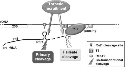 Model. Two co-transcriptional cleavage events take place at the Pol I terminator. Cleavage of nascent RNA by Rnt1 provides the initial entry site for the 'torpedo' Rat1 to promote Pol I transcription termination. In the absence of Rnt1, the downstream transcript is stabilized and an additional cleavage event occurs at T1, providing an alternative entry site for Rat1. In this situation the specific interaction of Reb1 (or alternative DNA-binding protein) with the Reb1-binding site is required to pause the polymerase and promote transcription termination.
