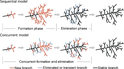 Diagram of the differences between the sequential and concurrent models of neuronal arbor development. In the 'sequential' model, axons have a period of exuberant process outgrowth and synaptogenesis, followed by a separate period of branch pruning and synapse elimination. In the 'concurrent' model, branch addition and synaptogenesis are contemporaneous with branch retraction and synapse elimination. Modified from Hua and Smith, 2004