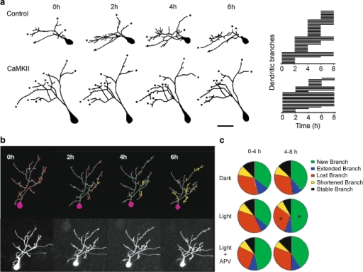 Analysis and presentation of data from time-lapse images of dendritic arbor plasticity. a Dendritic arbor plasticity observed by in vivo time-lapse images collected at 2 h intervals over 6 h. This imaging protocol allows every branch in the arbor to be identified and their dynamic behaviors to be presented in a chronogram (right). Adapted from Wu and Cline, 1998. b Rearrangements of dendritic arbor structures observed with images collected at 2-hour intervals over 6 h permit a variety of representations of branch dynamics. Here, branches were color coded according to their dynamics: the grey arbor is stable throughout the imaging period, red branches were present at the first image and disappeared by the last image, green branches were transient, and yellow branches were added during the imaging period and maintained to the final image. Adapted from Haas et al., 2006. c Branch dynamics can be quantified as branch additions, extensions, retractions, eliminations, and presented as the relative proportion of branches with different behaviors under separate experimental conditions