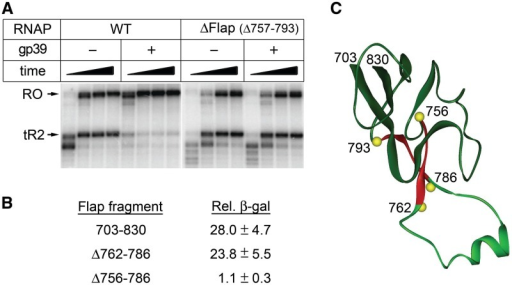 Gp39 targets the β flap domain of Thermus RNAP. (A) Analysis of the effects of gp39 on transcription termination by wild-type (WT) and Δβ flap Taq RNAPs at the λtR2 terminator. Transcription was performed at 25 µM NTPs. (B) Mapping of the gp39 interaction site in the β flap domain of Tth RNAP by a bacterial two-hybrid assay. The numbers at the right indicate the β-galactosidase activity measured in Miller units relative to the negative control and represent average values and standard deviations from at least three independent experiments. (C) The β flap domain structure [Tth TEC, 2O5I (21)].The positions of the analyzed deletions are indicated. The flap tip region (amino acids 762–786) is shown in light green.