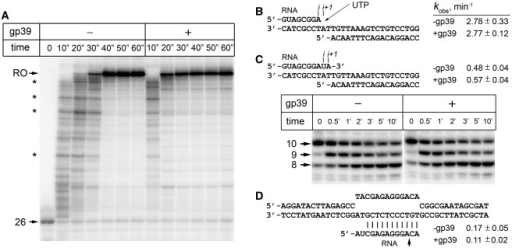 Influence of gp39 on transcription elongation by Tth RNAP. (A) Analysis of the average elongation rates of Tth RNAP on the λPR-rpoB template. Positions of the starting 26-mer and full-length run-off transcripts are indicated at the left; positions of several transcription pauses are indicated with asterisks. (B) Analysis of the rates of single nucleotide addition in complex of Tth RNAP with the minimal nucleic acid scaffold. (C) Effect of gp39 on the reaction of pyrophosphorolysis. Positions of the starting 10 nt RNA and 8/9 nt reaction products are shown on the left of the gel. The apparent kobs values (min−1) correspond to the rates of accumulation of the 8 nt RNA product. (D) Effect of gp39 on the reaction of intrinsic endonucleolytic RNA cleavage. The cleavage site of RNA in the synthetic scaffold is indicated by an arrow.