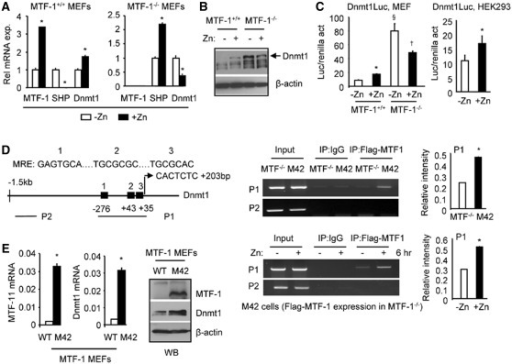 Zinc activation of Dnmt1 expression requires MTF-1. (A) qPCR analysis of MTF-1, SHP and Dnmt1 mRNA in MTF-1+/+ and MTF-1−/− MEF cells without (−Zn) or with 100 µM ZnSO4 treatment for 6 hr (+Zn). *P < 0.01, +Zn group versus −Zn group. (B) WB of Dnmt1 protein in MTF-1+/+ and MTF-1−/− MEF cells in the without (−) or with 100 µM ZnSO4 treatment for 6 hr (+). (C) Left: Transient transfection assays in MTF-1+/+ and MTF-1−/− MEF cells to determine the activation of Dnmt1 promoter-luciferase reporter (Luc) in response to zinc treatment. Right: Transient transfection assays of the Dnmt1 promoter-luciferase (Luc) reporter in HEK293 cells treated with zinc. Cells were cultured in medium containing 100 µM ZnSO4 for 6 hr. *P < 0.01, +Zn group versus −Zn group; §P < 0.01, −Zn group in MTF-1−/− versus −Zn group in MTF-1+/+ cells; †P < 0.01, +Zn group versus −Zn group in MTF-1−/− cells. (A and C) Statistical results represent mean ± SD of triplicate assays. (D) Left: diagram showing putative MREs in the Dnmt1 promoter and the location of primers used for ChIP assays. Middle: ChIP assays to monitor the association of MTF-1 to the endogenous Dnmt1 promoter in MTF-1−/− and M42 cells in the absence of zinc (upper panel), or in M42 cells treated with 100 µM ZnSO4 for 6 hr (lower panel). Right: Quantification of the binding signals in ChIP assays. (E) Left: qPCR analysis of MTF-1 and Dnmt1 mRNA in MEF cells (WT and M42). Right: WB of MTF-1 and Dnmt1 protein in MEF cells (WT and M42).