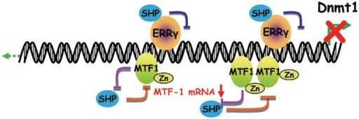 Schematic showing SHP inhibition of the Dnmt1 promoter through two distinct mechanisms. Our recent study showed that SHP inhibits ERRγ transactivation of the Dnmt1 promoter. The present study identified a zinc-mediated induction of Dnmt1 which is modulated by the cross-inhibition between MTF-1 and SHP.