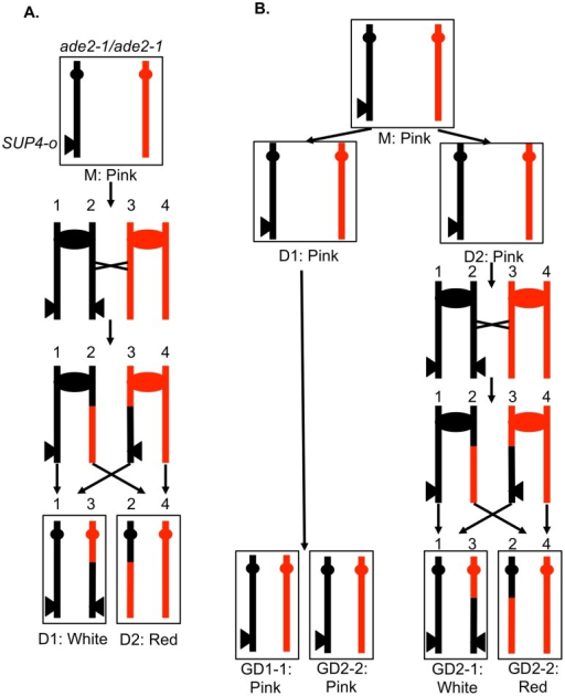 "A system for detecting mitotic crossovers by a colony sectoring assay.G1-synchronized diploid cells were treated with UV and immediately plated on solid medium. The diploid is homozygous for the ade2-1 mutation, an ochre mutation that when unsuppressed results in a red colony. The diploid has one copy of the ochre suppressor gene SUP4-o inserted near the telomere of chromosome IV on the black homolog. Strains with zero, one, and two copies of SUP4-o form red, pink, and white colonies, respectively. A. Crossover in G2 of the first division following irradiation. A DSB in one chromatid repaired during G2 will generate a red/white sectored colony, the white sector derived from daughter cell 1 (D1) and the red sector derived from daughter cell 2 (D2). B. Crossover delayed to G2 of the second division. If DNA damage induced in G1 is not repaired during the first division, a pink/white/red sectored colony would be generated. The abbreviation ""GD"" indicates the granddaughter of the irradiated cell."