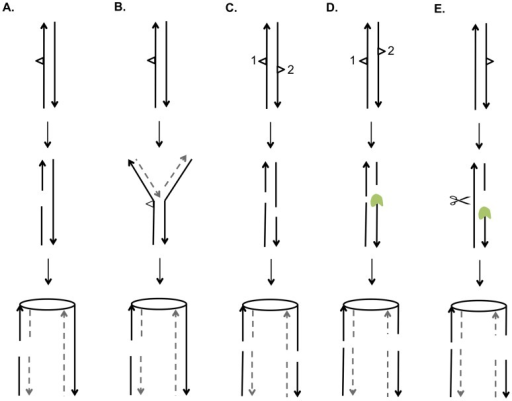 Mechanisms for generating UV-induced recombinogenic DSBs.At the top part of the figure, chromosomal DNA molecules are depicted as unreplicated double-stranded DNA molecules. Newly-synthesized DNA is depicted as gray dashed lines. UV-induced pyrimidine dimers are shown as triangles, and centromeres of replicated chromosomes are shown as ovals. A. Excision of a dimer results in a small gap and replication produces one broken and one unbroken sister chromatid. B. During replication of a DNA molecule with an unexcised dimer, a DSB occurs in one of the two sister chromatids. C. Excision of two closely-opposed dimers results in a short (<6 bp) unstable double-stranded region between the excision tracts. The resulting broken chromosome is replicated to form two broken sister chromatids. D. As in Figure 9C, two closely-opposed dimers are excised. One of the resulting short gaps is expanded by the 5′ to 3′ Exo1p nuclease (shown in green) to generate a broken chromosome. Replication of this chromosome results in two broken sister chromatids. E. The tract resulting form excision of a single dimer is expanded, leaving a large single-stranded DNA gap. An endonuclease cleaves this single-stranded region, resulting in two broken sister chromatids.