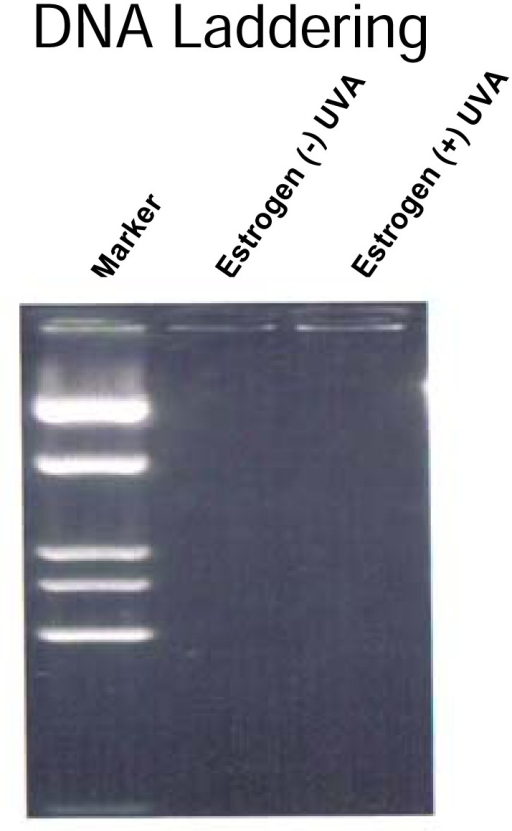 DNA laddering of cells treated with estrogen ± UVA.