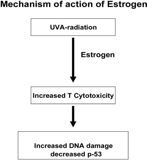 This figure represents the mechanism of action of estrogen. Under the influence of UVA radiation estrogen causes increased T cytotoxicity which results in increased DNA damage and decreased p53.