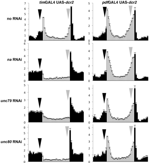 RNAi knockdown of na, unc79, or unc80 in all pacemaker neurons results in anticipation defects.Normalized activity profiles from adult male populations averaged over four days of LD entrainment. White bars represent light phase; black bars indicate dark phase. Error bars represent standard error of the mean. Arrows indicate morning anticipation (black) and evening anticipation (gray). The genotypes represented in the left panels are timGAL4/ +; UAS-dcr2/ +, heterozygous for the following insertions from the Vienna Drosophila RNAi Center (VDRC): (top panel) no RNAi  =  control strain attp VIE-260B (n =  55), MAI  =  1.5+/−0.1, EAI  =  2.6+/−0.1; (second panel) na =  103754 (n  =  43), MAI  =  0.5+/−0.1, EAI  =  0.4+/−0.1; (third panel) unc79  =  108132 (n =  44), MAI  =  0.3+/−0.1, EAI  =  0.3+/−0.1; (bottom panel) unc80  =  108934 (n =  42), MAI  =  0.7+/−0.1, EAI  =  0.3+/−0.1. Genotypes represented in the right panels are pdfGAL4 UAS-dcr2/+ heterozygous for the same VDRC strains: (top panel) attp VIE-260B (n =  32), MAI  =  1.3+/−0.1, EAI  =  2.4+/−0.2; (second panel) na =  103754 (n  =  33), MAI  =  1.0+/−0.1, EAI  =  2.3+/−0.2; (third panel) unc79  =  108132 (n =  37), MAI  =  1.5+/−0.2, EAI  =  2.1+/−0.2; (bottom panel) unc80  =  108934 (n =  35), MAI  =  1.3+/−0.2, EAI  =  2.3+/−0.2. Both MAI and EAI differ significantly among the timGAL4/ +; UAS-dcr2/ + genotypes (Kruskal-Wallis one-way ANOVA, 3 degrees of freedom, P<0.001), and each RNAi genotype exhibits significantly lower MAI and EAI than the control strain (Dunn's method, P<0.05). MAI and EAI values for each timGAL4 UAS-dcr2 RNAi strain are either lower or not significantly different from values calculated from strong mutant alleles for the corresponding gene (Kruskal-Wallis one-way ANOVA, 1-2 degrees of freedom). No significant differences in MAI or EAI are observed among pdfGAL4 UAS-dcr2/ + genotypes (Kruskal-Wallis one-way ANOVA, 3 degrees of freedom, P > =  0.146).