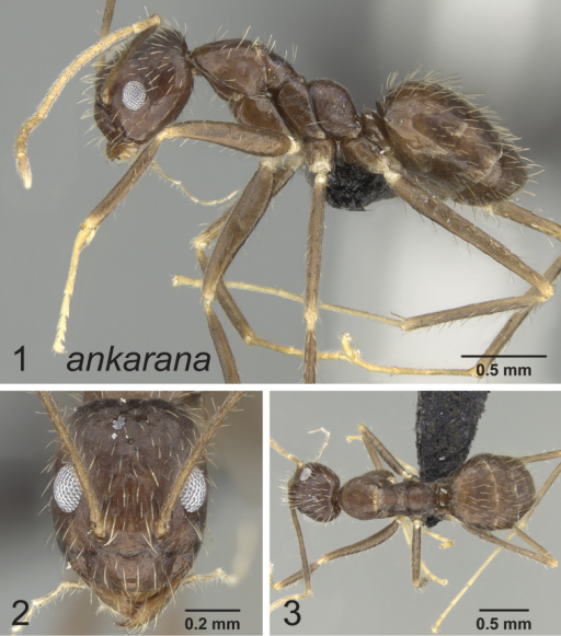 Lateral, full face and dorsal view of body. Paratrechina ankarana holotype worker CASENT0454372.