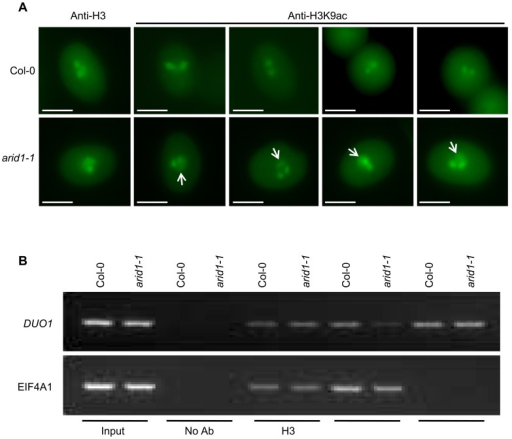 Altered histone acetylation in arid1-1.(A) Expanded pattern of histone acetylation signal in arid1-1 by immunofluorescence analysis. Mature pollen from wild type and arid1-1 plants was incubated with anti-H3 (control) and anti-H3K9ac antibodies. Representative examples for arid1-1 show histone acetylation in the vegetative nucleus (indicated by white arrowheads). 50–100 pollen grains for each genotype were examined. (B) Reduced histone acetylation at the DUO1 promoter in the arid1-1 mutant by ChIP. Inflorescences from wild type and arid1-1 were used for a ChIP assay with anti-H3, anti-H3K9ac, and anti-H3K4me3 antibodies. ChIP-DNA was used for PCR by amplifying 35 cycles for both EIF4A1 (negative control) and the DUO1_3 fragment, which bound ARID1. Similar results were obtained from three independent biological replicates; the results shown are from one replicate.