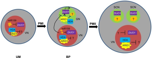 Model for ARID1 function during sperm cell formation in Arabidopsis.miR159 plays a major role in restricting DUO1 expression in the vegetative cell. As pollen development proceeds, miR159 abundance is gradually decreased and ARID1 expands its expression into the generative cell, possibly by responding to the decreased repressive role of miR159 in bicellular pollen. ARID1 then promotes DUO1 activation by directly binding to the DUO1 promoter, and thereby facilitates the initiation of sperm cell formation. On the other hand, ARID1 might repress expression of unknown negative regulators (orange) of cell cycle progression, by altering the epigenetic status of the generative cell. Once sperm cells are formed, ARID1 gradually decreases until it is eliminated from germline cells, so that DUO1 is steadily present and negative regulators possibly related to germline function start to be active, due to dissociation of ARID1 and histone deacetylase. Thus we hypothesize that the alteration of epigenetic status during sperm cell formation is correlated with a change in the subcellular localization of ARID1, which could facilitate cell cycle progression of the two consecutive mitoses. VN, vegetative nucleus; GN, generative cell; SC, sperm cells.
