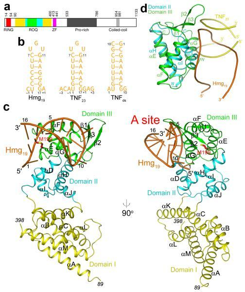 Structure of the ROQ domain of human Roquin in complex with the constitutive decay element (CDE) of Hmgxb3 mRNA(a). Domain organization of human Roquin. Domains I, II and III of the ROQ domain are colored yellow, cyan and green, respectively. ZF: zinc-finger. (b). Schematic drawing of three RNA molecules used in this study, Hmg19, TNF23, and TNFds. The numbering scheme of the nucleotides is also shown. (c). Two views of the structure of the ROQ domain of human Roquin in complex with Hmg19. The three sub-domains of the ROQ domain are colored in yellow, cyan and green, respectively, and the RNA in orange. The side chain of Met199 (site of the sanroque mutation) is shown in red for carbon atoms. (d). Overlay of the structures of domain III of ROQ domain (green) in complex with Hmg19 (orange) and domain II of ROQ domain (cyan) with TNF23 duplex (yellow). All the structure figures were produced with PyMOL (www.pymol.org).