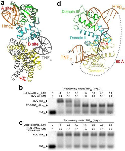 Two separate RNA binding sites in the ROQ domain(a). Overlay of the structures of the Hmg19 complex (in color) and TNF23 complex (gray) of the ROQ domain, based on domains II and III. A 30° change in the orientation of domain I is indicated with the red arrow. (b). EMSA results showing the formation of the ROQ-TNFds-Hmg19 ternary complex. Wild-type ROQ domain was pre-incubated with labeled TNFds, and then with increasing concentrations of unlabeled Hmg19. The NaCl concentration was 50 mM. (c). EMSA results with mutations in the A site. The mutations blocked the formation of the ternary complex. (d). A model showing possible linkages between the RNA molecules in the B site and A site. A single-stranded RNA (gray, 7 nts) was modeled to connect the 3′ end of the RNA in the B site to the 5′ end of the stem-loop RNA in the A site (~30 Å distance). A linker between the 3′ end of the RNA in the A site to the 5′ end of the RNA in the B site would need to span ~60 Å (gray dots).