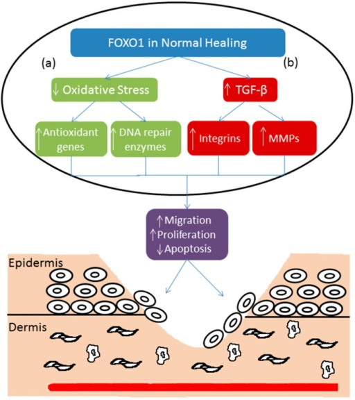 (a) Oxidative stress increases in the inflammatory phase of wound healing. FOXO1 down-regulates oxidative stress by activating antioxidant genes and DNA repair enzymes. This facilitates keratinocyte migration and proliferation and decreases keratinocyte apoptosis, which improves wound healing; (b) FOXO1 stimulates TGF-β promoter activity resulting in the upregulation of TGF-β expression. Increased TGF-β stimulates expression of integrins and matrix metalloproteinases to improve wound healing through increased keratinocyte migration and decreased apoptosis.