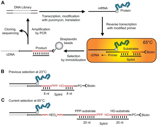 In vitro selection of artificial ligase enzymes with increased stability.(A) Schematic of the isolation of ligase enzymes. The DNA library encodes the library of proteins that resulted from the original selection of ligase enzymes at 23°C [17], [22]. The DNA is transcribed into RNA, modified with puromycin at the 3′-end and translated in vitro yielding a library of mRNA-displayed proteins [22]. Reverse transcription with a primer containing one RNA substrate shown in red results in a complex of protein, mRNA, cDNA and substrate. This complex is incubated at 65°C with the second RNA substrate (red) and the complementary splint as highlighted in the orange box. The cDNA of ligases active at this temperature is immobilized on streptavidin beads and amplified for subsequent rounds of selection, or identified by cloning and sequencing. (B) Detailed view of ligation reaction substrates in complex with the mRNA-displayed protein. The two strands of RNA in red, the 5′-triphosphate RNA (PPP-substrate) and 3′-hydroxyl RNA (HO-substrate), are joined in a template-dependent ligation reaction. The PPP-substrate is part of the reverse transcription primer. The photocleavable site (PC) is used to release the cDNA that encodes active enzymes from streptavidin immobilization by irradiation at 365 nm. The splint acts as template of the ligation and base pairs with 8 nucleotides of each RNA substrate during the previously published selection at 23°C [17], [22], and with (C) 20 nucleotides of each substrate during the current selection at 65°C. HEG4 represents the linker of four hexaethylene glycol units (red wavy line).