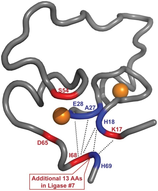 Sequence differences between ligase #7 and ligase 10C mapped onto the NMR structure of ligase 10C [20].Mutations are shown in red. Residues potentially perturbed by the mutations are labeled in blue and long range NOEs are shown as dashed black lines. The two coordinated zinc ions as depicted as orange spheres and the residue numbers refer to ligase 10C. The unstructured termini of ligase 10C were omitted for clarity.