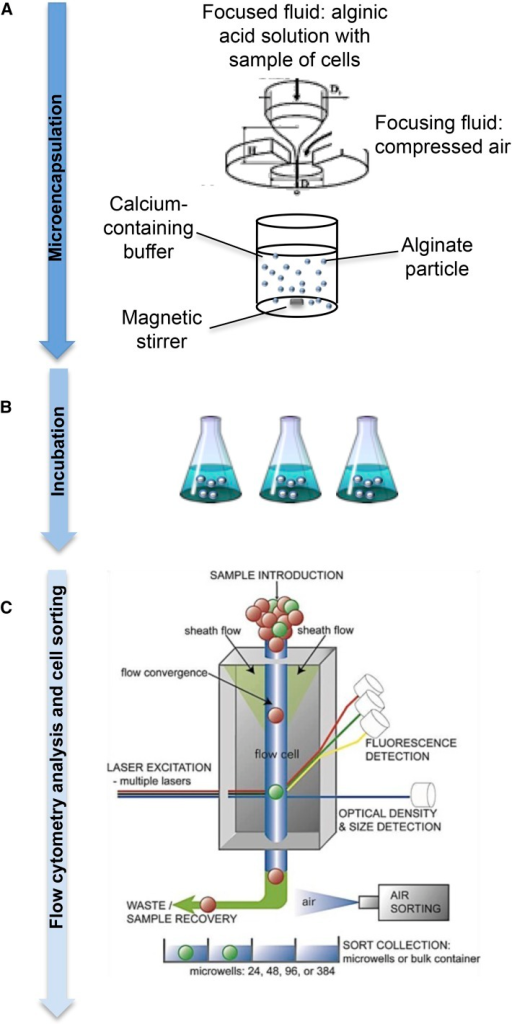 Summary of the method: microencapsulation, incubation, and sorting processes. (A) A schematic representation of the flow-focusing technology is shown. The sample is injected with a syringe pump through a capillary feed tube inside a chamber and pressurized by a continuous air supply in a Cellena microencapsulator. The stationary jet breaks up by capillary instability into homogeneous droplets, which will gel in a continuously stirred calcium chloride solution at room temperature. Adapted from Martin-Banderas et al. (2005). (B) Spherical size-monodisperse alginate microcapsules containing the fungal spores are incubated in different media. (C) Flow cytometry and cell-sorting analysis: microcapsules containing single cell were analyzed by flow cytometry using a COPAS flow cytometer. COPAS instruments allow one to automate the process of sorting large particles (20−1500 µm) in a continuously flowing stream at a rate of 10−50 objects/sec. Via the use of object size (time of flight), optical density (extinction), and/or intensity of fluorescent markers as sorting criteria, selected objects in a predetermined range can be safely dispensed in multiwell plates for further analysis.