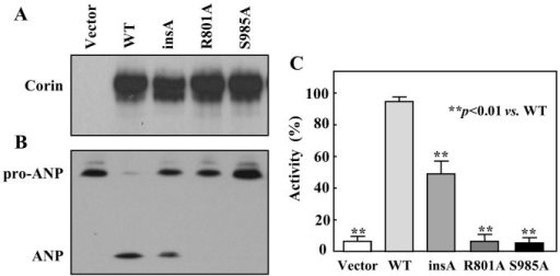 Expression and activity of the insA variant in HEK293 cells.(A) Western analysis of corin WT, the insA variant, and mutants R801A and S985A protein levels in transfected HEK293 cells. (B) Pro-ANP processing activity of the insA variant. WT and inactive mutants R801A and S985A were positive and negative controls, respectively. (C) Quantitative data of pro-ANP processing activity were from densitometric analysis. The cropped blots are used in the main figures and full-length blots are included in the supplementary information (Supplementary Fig. S1). Data are representative of at least four independent experiments.