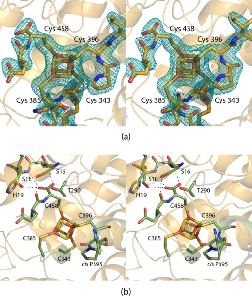 Active site of the L. pneumophila dehydratase.The observed electron density for the iron–sulfur cluster isshown in panel a. The map, contoured at 3σ, was calculated withcoefficients of the form F0 – Fc, where F0 is thenative structure factor amplitude and Fc the calculated structure factor amplitude. A close-up view of theactive site is displayed in panel b. The dashed lines indicate potentialhydrogen bonds.