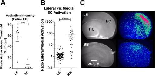 Spatial mapping of EC spontaneous activity reveals severe reduction in BB activation vs. LE.A significant decrease in the overall activation intensity (A) of spontaneous events is apparent in BB slices. The intensity of EC activation was calculated as the percentage of total EC pixels active above a threshold value during each coordinated event. B quantifies the localization of activity within EC in terms of the relative activation of lateral vs. medial pixels. Activation is uniform throughout EC in LE but biased in favor of lateral activation in BB. *** p<0.001, ****, p< 0.0001. two-tailed t-test (n's: LE = 10 slices (7 pups); BB = 6 slices (6 pups)). C shows representative composite images illustrating the activated pixels (greens and reds in pseudocolor overlay shown on right) in a slice from each strain. HC, hippocampus; EC, entorhinal cortex; In every slice medial is down, posterior is right.