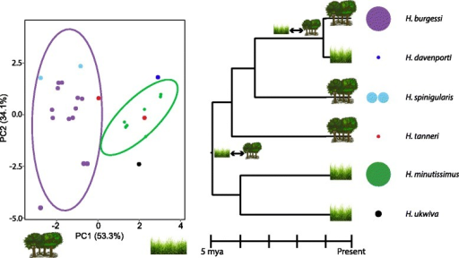 Ecological Niche Divergence of speciation according to major habitat types. Left: Principle Component Analysis of current habitat suitability for each species. Montane grassland/forest mosaic species are on the right, while rainforest adapted species are on the left. Right: Distribution of forest (trees) and mosaic (grasses) adapted species on *BEAST species tree. A double-sided arrow between habitat types indicates the two nodes where ecological shifts are inferred. Relative population sizes based on field collection estimates and potential range sizes are shown in the relative size of color-key circles. The split distribution of H. spinigularis is represented by two circles to represent the two distant populations in Malawi and Mozambique separated by ~160 km. The two localities of H. tanneri are represented by a single circle as they are within the same mountain block and separated by only ~25 km