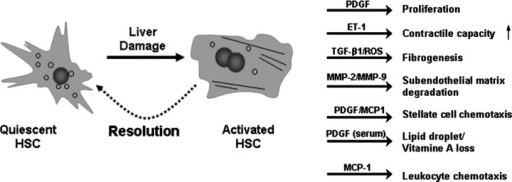 Schematic representation of HSC activation. Liver damage (caused by viral infection, metabolic disease, drugs, toxins, cholestasis) leads to the transdifferentiation of quiescent HSCs into activated myofibroblast-like cells under the influence of different mediators secreted by resident liver cells as well as non-liver resident cells. The most striking phenotypical changes are the loss of lipid droplets, fibrogenesis and the increase in contractile capacity. During resolution of liver damage, it is not yet clear what the fate of the activated stellate cells is: re-differentiation into quiescent HSCs or apoptosis of the activated myofibroblast-like cells. Abbreviations not appearing in the text of the current review are: platelet derived growth factor (PDGF), endothelin 1 (ET-1), reactive oxygen species (ROS) and monocyte chemotactic protein 1 (MCP-1). The figure has been adapted from [127].