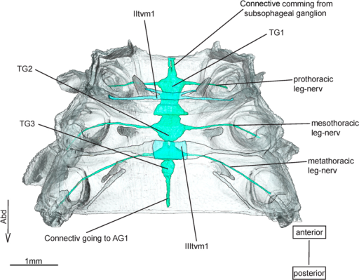 Transverso-ventral musculature and ventral nerve cord of Epiophlebia laidlawi.3D - reconstruction from SRμCT data showing the ventral half of the thorax. AG - abdominal gaglion, Abd - Abdomen, TG - thoracal ganglion, tvm - transverso-ventralmuscle.