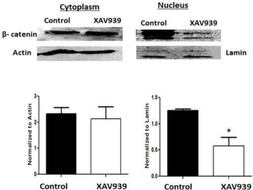 Effect of XAV939 on nuclear β-catenin levels in the HLE-B3 cells. To further establish the association between nuclear β-catenin, epithelial to mesenchymal transition (EMT) marker proteins, and vascular endothelial growth factor (VEGF) levels, we used the pharmacological inhibitor, XAV939, to decrease the nuclear levels of β-catenin. HLE-B3 cells were cultured in 100 mm2 culture dishes and incubated with 1 µm XAV939 for 3 h in hypoxia. At the end of 3 h, cytoplasmic and nuclear extracts were collected and analyzed with western blot. The experiment was repeated twice with independent cell populations and was quantified using ImageJ analysis. The asterisk (*) signifies there was a significant decrease in nuclear β-catenin in the XAV939-treated cells compared with the controls (p<0.05). There was no significant change in the cytoplasmic level of β-catenin with XAV939 relative to controls.
