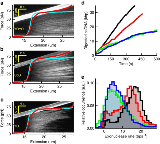 Impact of intercalators on DNA overstretching and DNA-enzyme activity.(a–c) Kymographs and corresponding force-extension curves (red) in the presence of YOYO (a), SbG (b) and YO (c) at 100 mM NaCl. The kymograph image and corresponding force-extension curves are co-aligned along the horizontal axis, which is possible because of the constant stretching speed of the moving bead (visible as the bright, upward tilted bar in the image). Thus, the fluorescence pattern in the vertical direction in the kymograph is a DNA-staining pattern at the DNA extension indicated on the horizontal axis. Cyan curves, no intercalator present. (d) Time traces recorded at 40 pN showing dsDNA digestion by the exonuclease activity of T7 DNA polymerase. Black, no intercalator; red, YO; blue, SxO; green, SbG. Under these experimental conditions, YOYO abolished all exonuclease activities. (e) Histograms of the resulting average digestion rates obtained at the four different conditions (Methods).