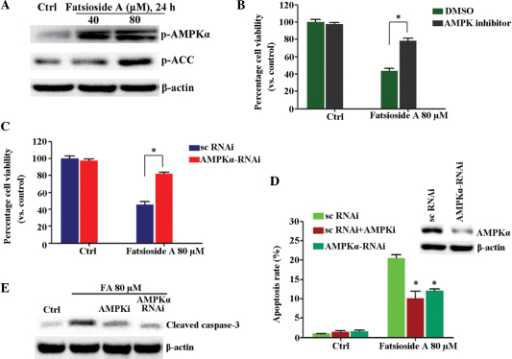AMPK inhibition suppresses fatsioside A-induced cell viability loss in HepG2 cells. (A) HepG2 cells were either left untreated or were treated with different concentrations of fatsioside A (40 or 80 µM) for 24 h. The phosphorylation of AMPKα and ACC were then assessed using western blot analysis. (B) HepG2 cells were pre-treated with the AMPK inhibitor, compound C (10 µM), for 1 h, followed by fatsioside A (80 µM) stimulation, and were further cultured for 24 h prior to assessment of cell viability using an MTT assay. (C) Scramble control (sc)RNAi- or AMPKα RNAi-transfected HepG2 cells were either left untreated or were treated with fatsioside A (80 µM), and were further cultured for 24 h prior to cell viability assessment using an MTT assay. (D) Expression levels of AMPKα in these cells were assessed using western blot analysis (upper) and were also assessed for cell apoptosis using Annexin V fluorescence-activated cell sorting 24 h, following treatment with fatsioside A (80 µM).*P<0.05, vs. fatsioside A + scRNAi group. (E) Expression levels of cleaved caspase-3 in the cells were examined using western blot analysis. Experiments were repeated three times and similar results were obtained. Ctrl, untreated control; FA, fatsopside A; AMPK, AMP-activated protein kinase; ACC, acetyl-CoA carboxylase carboxylase; p-, phosphorylated; RNAi, RNA interference; DMSO, dimethyl sulfoxide.