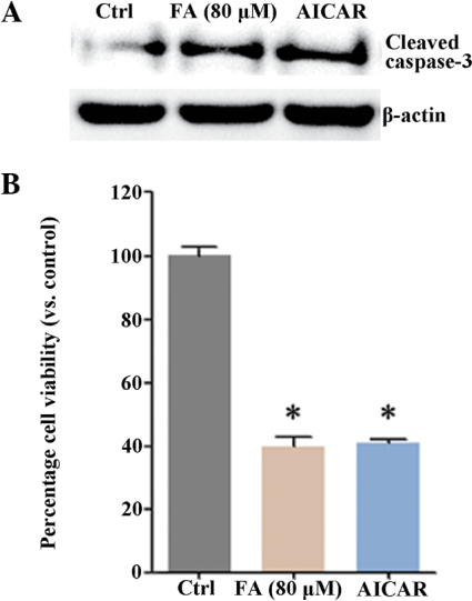 AMPK activator inhibits HepG2 cell survival. (A) HepG2 cells were either left untreated or treated with fatsioside A (80 µM) for 24 h, or the AMPK activator (AICAR; 1 mM) for 2 h. The levels of cleaved caspase-3 were assessed using western blot analysis. (B) Cell viability was examined using a 3-(4, 5-dimethylthiazol-2-yl)-2, 5-diphenyltetrazolium bromide assay. Experiments were repeated three times and similar results were obtained. *P<0.05, vs. Ctrl. FA, fatsioside A; Ctrl, untreated control; AICAR, 5-aminoimidazole-4-carb oxyamide-1-β-D-ribofuranoside; ACC, acetyl-CoA carboxylase carboxylase.