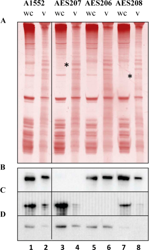 Analysis of OMV-associated RNA.RNA extracted from overnight cultures of wt and HTRR mutant Vibrio cholerae O1 El Tor A1552 whole cells (wc) and vesicles (v) using the Total RNA Norgen kit. RNA (3.5 μg) was run on a 12% polyacrylamide denaturing gel and transferred to a membrane. (A) Gel stained with GelRed. Positions of bands missing in case of mutant strains are indicated by asterisks (*). (B) Northern blot membrane probed with probe vc2478,5. (C) Northern blot membrane re-probed with probe vc0190,5. (D) Northern blot membrane re-probed with probe vca0526,5.