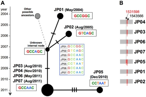 Median-joining network of the seven outbreak isolates based on the detected core genomic variations.A) The variations are summarized as nexus format files (.nex), and PopART visualizes the epidemiological linkages among the isolates through a user specified network method. The bars on the edge indicate the number of SNVs between the nodes (isolates). B) In addition to three SNV differences between JP05 and the outbreak isolates (JP03, JP04, JP06, and JP07), an additional IS6110 insertion was detected at the 1,531,598 nt genome position in JP05, suggesting that JP05 could be unrelated to the outbreak, although the VNTR profile is consistent.