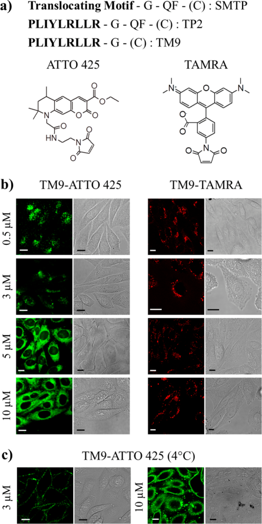 SMTP general structure, TP2 and derived TM9 peptide sequences, fluorophores studied here and cell uptake of dye-labeled TM9.(a) SMTP structural composition, TP2 precursor sequence as representative example and TM9 peptide sequence with ATTO 425 and TAMRA structures. (b) Confocal images of cells treated with increasing concentrations of TM9-ATTO 425 and TM9-TAMRA in free serum medium. Concerning the former, endocytic bright spots are detectable at 0.5 and 3 μM, while direct translocation is prevalent at 5 and 10 μM. Concerning the latter, only endocytosis is present at all the concentrations tested. Scale bars: 10 μm. (c) Confocal images of cells treated with 3 μM (left) and 10 μM (right) of TM9-ATTO 425 at 4 °C. While in the former case only cell plasma membranes are labelled (i.e. endocytosis is blocked), in the latter one diffuse cytoplasmic staining is still evident (i.e. direct translocation occurs).