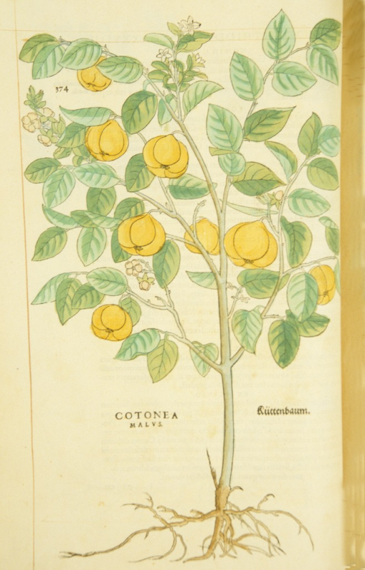 <p>Hand-colored woodcut of a quince tree.</p>