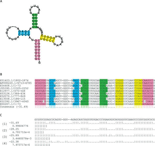 Analysis of aligned tRNAs. A ClustalW alignment of 10 arbitrarily chosen tRNAs from Rfam was analysed with RNAlishapes. (A) The consensus structure predicted by RNAlishapes drawn as a squiggle plot using RNAplot from the Vienna RNA package (62). The sequence corresponds to the sequence of the most frequent base at each position. Colours indicate different stems (see B). (B) The alignment produced by ClustalW. Additionally the consensus structure is given on the last line together with the score in parentheses. The different stems are colour coded in the alignment as well as in the consensus structure. Note, that helical regions do not need to have the same length in all sequences. (C) Output of RNAlishapes, when running in shape probabilistic mode. Four consensus shapes with a probability >10−6 have been predicted. For each the free energy and the dot-bracket representation of the shrep (both on the first line), the probability of the shape and the shape notation (both on the second line) are computed.